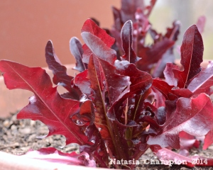 A red leaf lettuce will add variety to our salads this season.